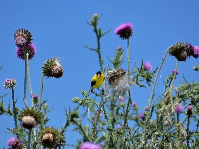 Yellow-bird-eating-thistle-seeds