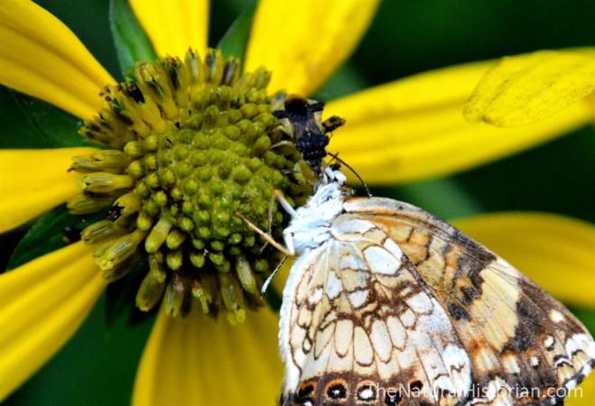 Assassin-bug-butterflyonSunflowerClose