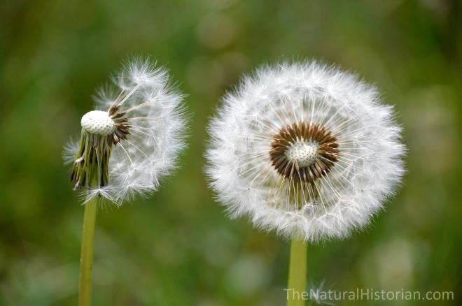 dandelionseeds