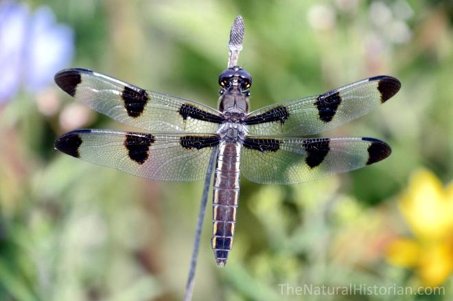 Dragonfly-SFBJuly2015