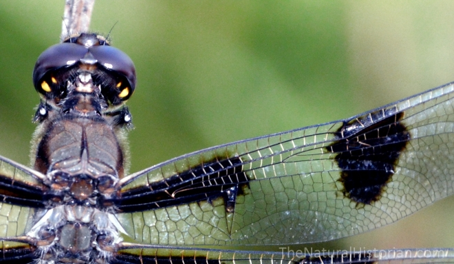 Dragonfly-WingDetail-SFBJuly2015