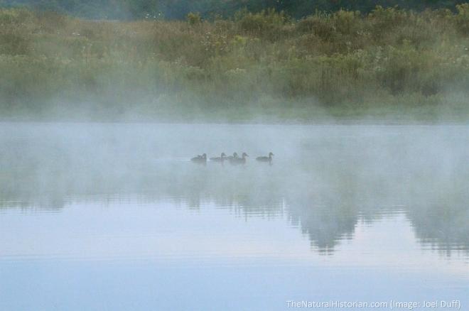 Ducks-springfield-bog-lake