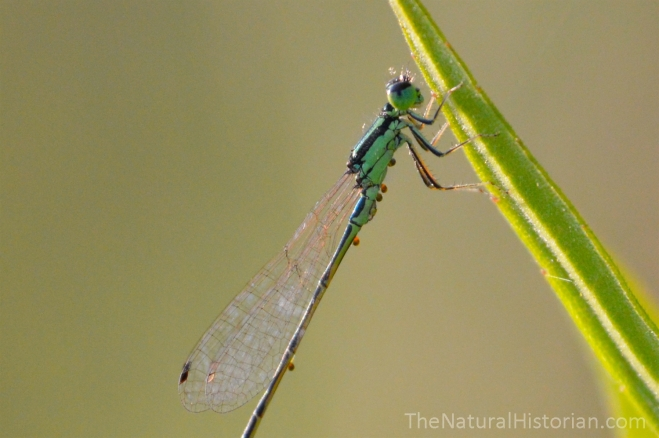 Green-damselfly-withparasite-eggs-closeup