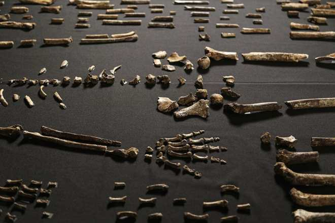 Some of the fossil bones from the rising star cave in South Africa that have been named Homo naledi. Photo: John Hawks - co-author of the paper reporting the result of research on these bones.