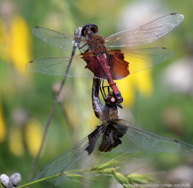 Mating-dragonflies2