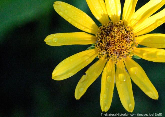 Sunflower-dew-firstlight
