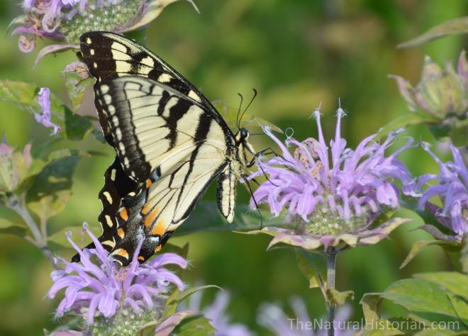 Swallowtail-butterfly2