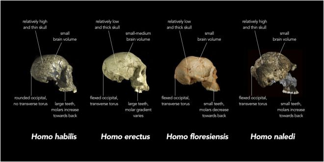 Comparison of skull features of Homo naledi and other early human species. Image credit: Wikipedia, Chris Stringer