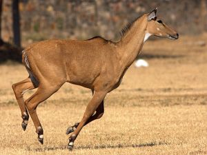 "A Nilgai antelope. ""Nilgai running"" by Rushil Fernandes - Own work. Licensed under CC BY-SA 4.0 via Commons - https://commons.wikimedia.org/wiki/File:Nilgai_running.jpg#/media/File:Nilgai_running.jpg"