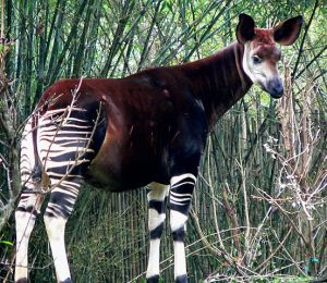 "An Okapi. Image credit: ""Okapi2"". Licensed under CC BY-SA 3.0 via Commons - https://commons.wikimedia.org/wiki/File:Okapi2.jpg#/media/File:Okapi2.jpg"