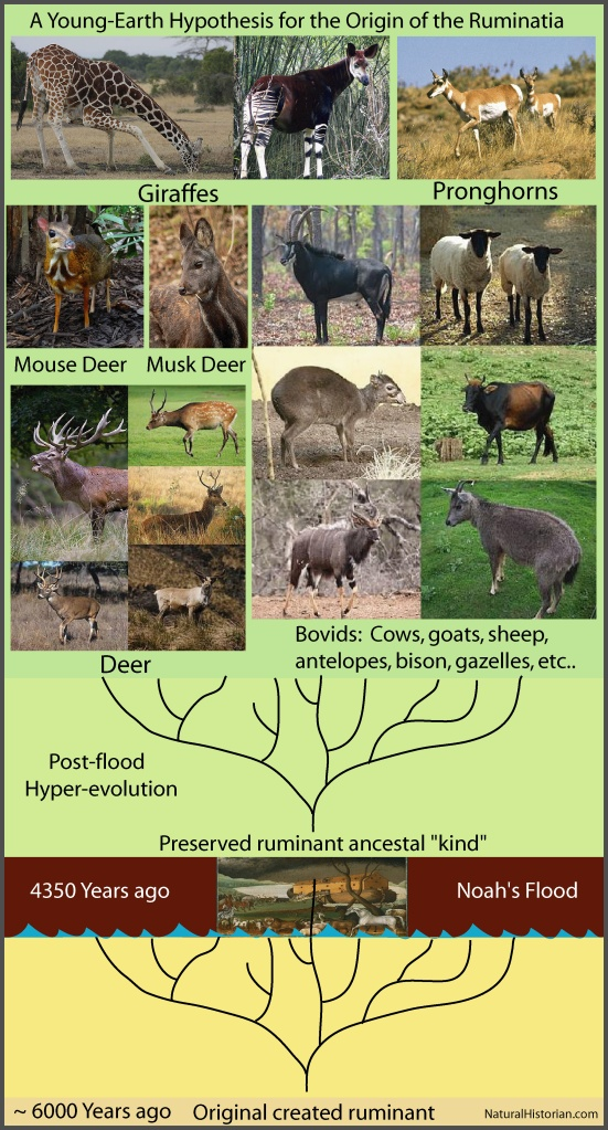 A representation of a possible young-earth hypothesis for the origin of the members of the Order Ruminatia.  Other ruminants are not considered related to those in this group. Figure: Joel Duff, images from Wikipedia (see attributions at the end of the article).