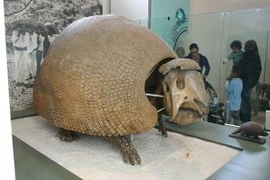 Fossil of a large glyptodont on display. By Ryan Somma - Panochthus frenzelianus, CC BY-SA 2.0, https://commons.wikimedia.org/w/index.php?curid=4987310