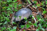 A 9-banded armadillo.  I took this picture in Ft. Myers FL last year.  Image: Joel Duff
