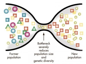 A typical visualization of what happens in a genetic bottleneck. In this case new mutations after the bottleneck begin to increase variation again but that is a very slow process.