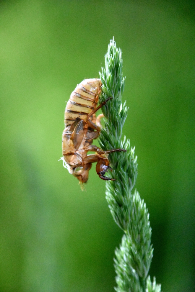 cicada-nymph-grass2