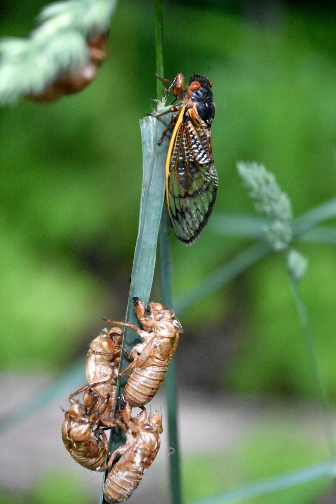 Cicadas-adults-nymphs