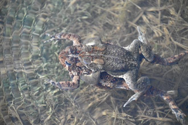 FrogsinspringfieldBog