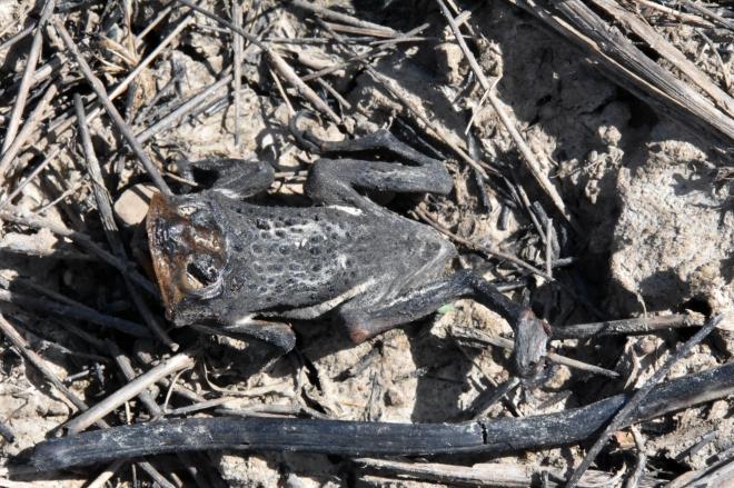 Toad-spring-burning