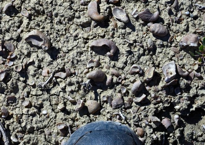 A common scene whenever we crossed through a particular Jurassic-aged rock formation. Devils toenails (Grypheae), an extinct type of mussel. We saw millions of these at multiple locations in the Bighorn Basin in Wyoming. Photo: Joel Duff, June 2016