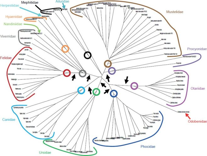 "Figure 12 from Dr. Jeanson's article Mitochondrial DNA Clocks Imply Linear Speciation Rates Within ""Kinds"". The colors represent families with lines as species. The circles are the presumed common ancestors of the kinds that were on Noah's Ark."