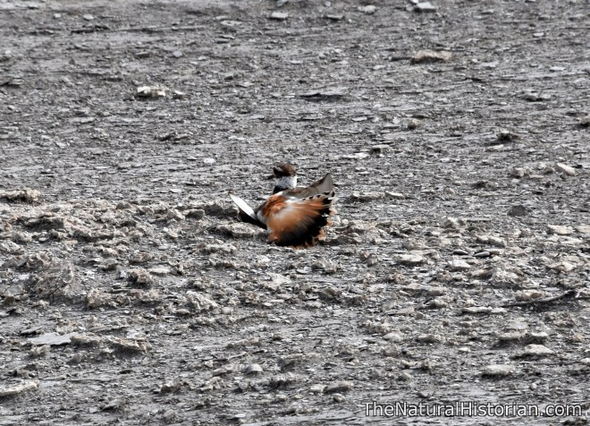 monumentrocks-kansas-killdeer-brokenwing-distraction