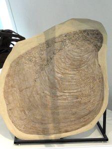 Platyceramus platinus with Pseudoperna congesta growing on it, Gove County, Kansas, USA, Late Cretaceous - Royal Ontario Museum. Image from Wikipedia