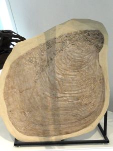 Platyceramus platinus with Pseudoperna congesta growing on it, Gove County, Kansas, USA, Late Cretaceous - Royal Ontario Museum. Image from Wikipedia