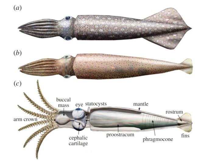 Acanthoteuthis in life. From Klug et al., 2016.