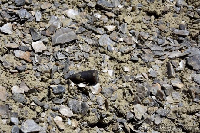 belamnite-clamshells-dinosaursite