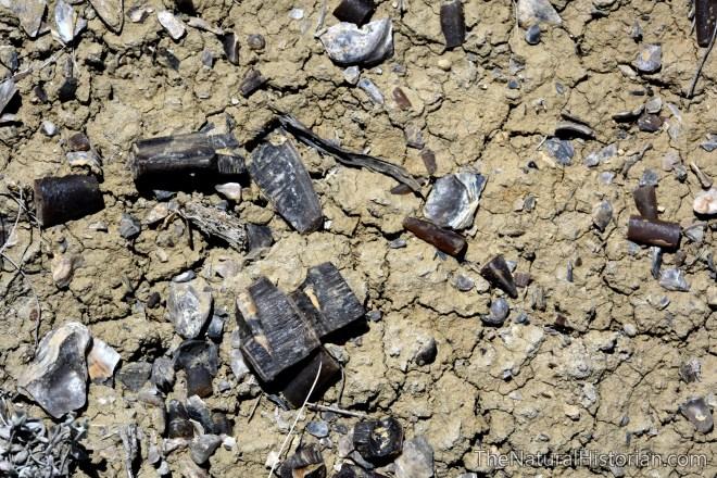belamnite-shells-dinosite