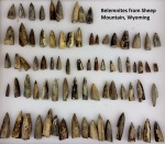 Don't worry I left a few for everyone else.  I collected just a few of the quadrillions of belemnite fossils that are contained in rocks of the Bighorn Basin, Wyoming.  These were collected on our hike on Sheep Mountain.  (image: Joel Duff)