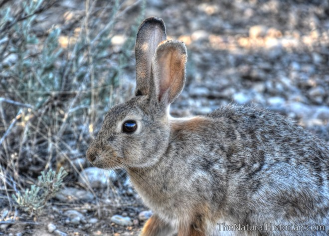 jackrabbit-wyoming-beechnut-photos-rjduff