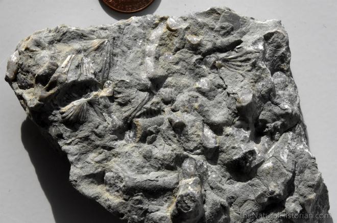 ordovician-fossils-ark-encounter-kentucky-williamstown