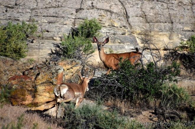 pronghorn-meets-mule-deer-wyoming