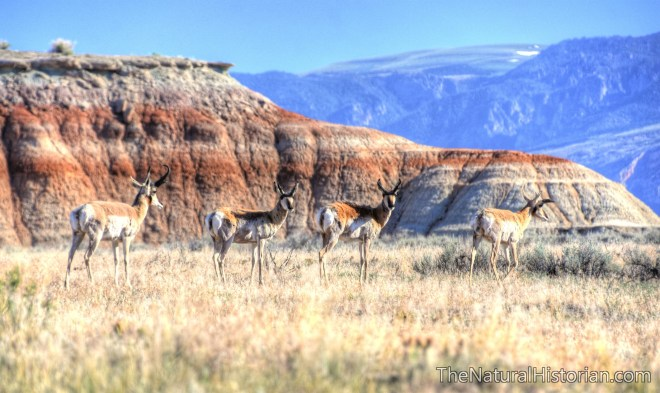 pronghorn-red-gulch-beechnut-photos-rjduff