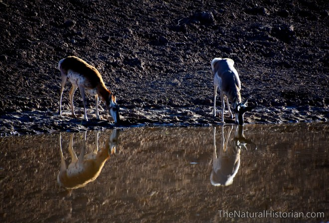pronghorns-watering-hole-wyoming