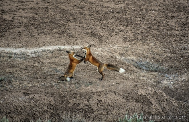 red-foxes-red-gulch-wyoming-2016b-beechnut-photos-rjduff