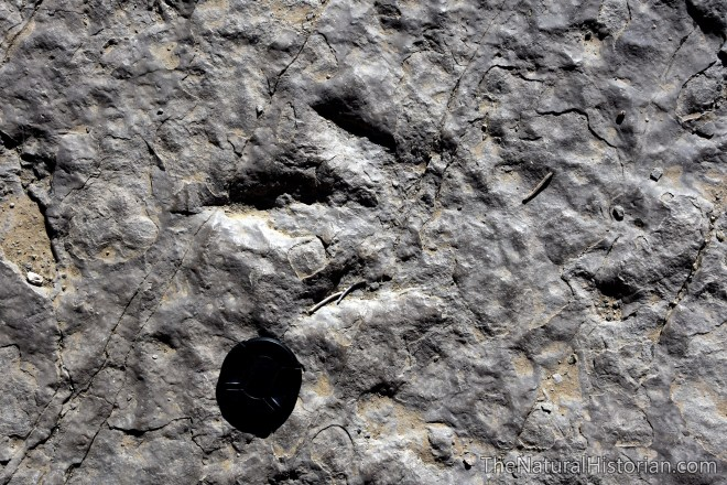red-gulch-dinosaur-footprint-limestone