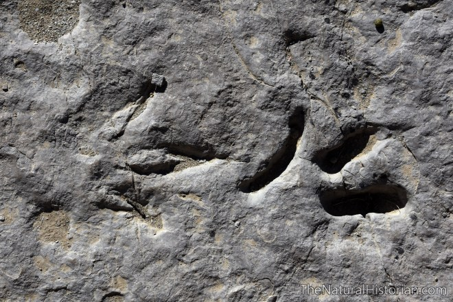 redgultch-dinosaur-track-clamshellimpression-wyoming