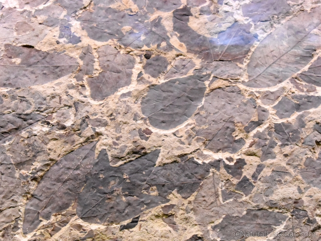 fossil-butte-visitor-center-plate-leaves