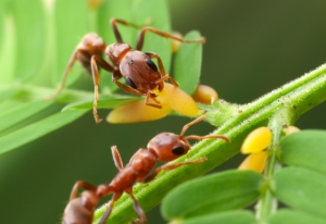 The yellow structures are called beltian bodies and are a protein/lipid rich structure produced either at the tips of the leaflets or in some species of acacias in place of some leaflets. The ants can clip these bodies off and carry them to their homes inside the thorns on these Central American acacias. The ants use them as a food source. In return the ants put up a vigorous defense of the tree including attacking any other insect or herbivore that might try to eat the leaves of the plant. In some cases the ants will even go out and cut down other plants that come in contact with the trees preventing local competition with other plants.